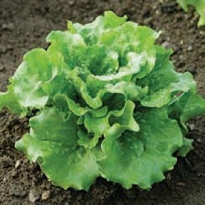 Tennessee Urban Farm | Lettuce, Green Summer Crisp