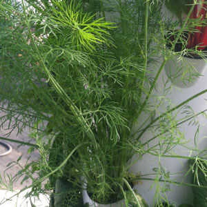 Tennessee Urban Farm | Dill