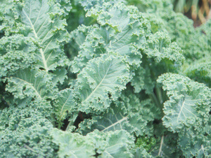 Tennessee Urban Farm | Kale, Curly Green