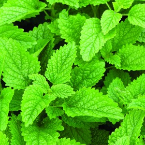 Tennessee Urban Farm | Lemon Balm