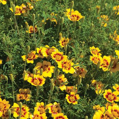 Tennessee Urban Farm | Marigold, Jewel Mix