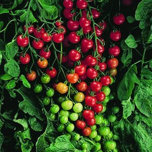 Tennessee Urban Farm | Tomato, Cherry Red