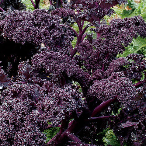 Tennessee Urban Farm | Kale, Redbor