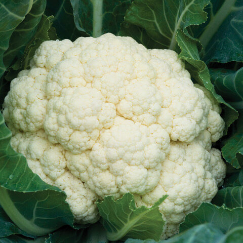 Tennessee Urban Farm | Cauliflower, Standard