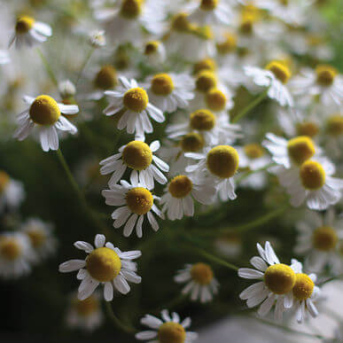Tennessee Urban Farm | Chamomile
